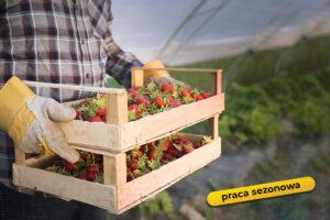 oferta pracy - zbiórka owoców truskawki